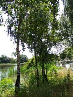 FOTKA - cestou na kole - břízky u rybníka