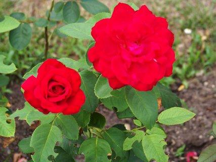 FOTKA - růže - procházka