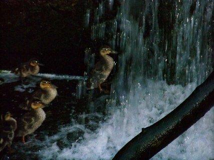 FOTKA - malé kačenky ve vaně rybníka ...