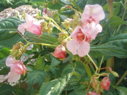 FOTKA - Růžová kvítka