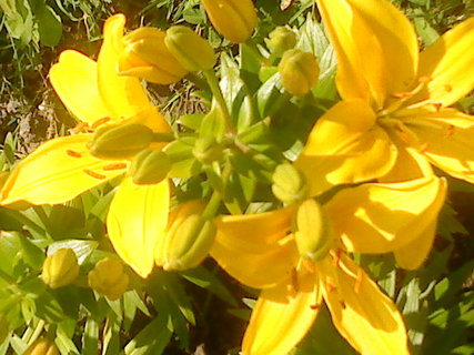 FOTKA - Žluté lilie