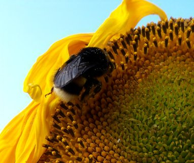 FOTKA - Čmelda na slunečnici