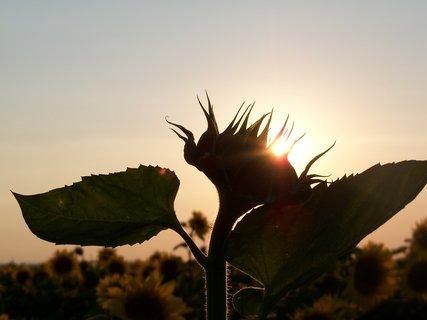 FOTKA - Slunečnice v západu slunce