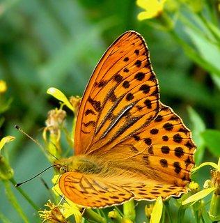 FOTKA - Pro motýlkářku Daturu :-))