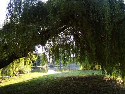 FOTKA - Buštěhrad, stará vrba u rybníka