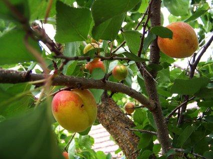 FOTKA - zahrádka, meruňky