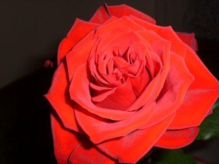 FOTKA - růže 25