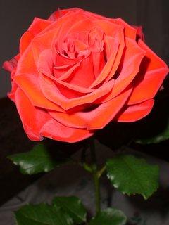 FOTKA - růže 30