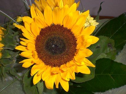 FOTKA - slunečnice 33