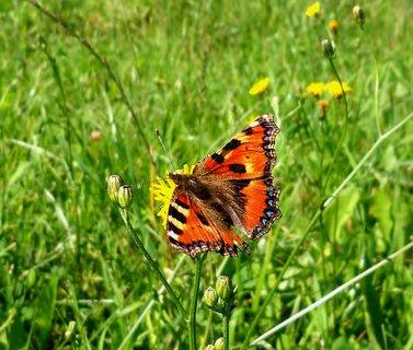 FOTKA - Motýl na louce