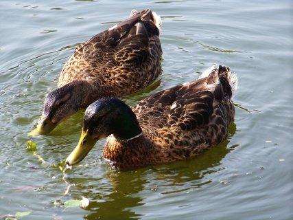 FOTKA - rybník v Buštěhradu, kačenky .,,,,,,