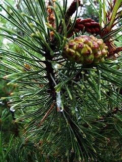 FOTKA - větve borovice po dešti...