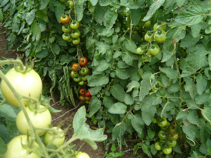 FOTKA - ještě jednou rajčátka