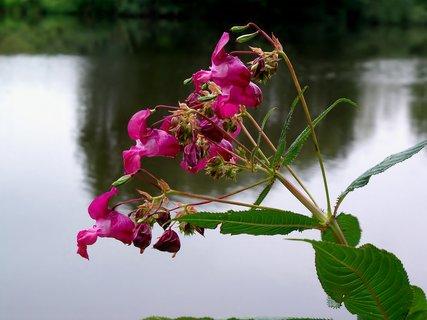 FOTKA - růžová kráska nad hladinou Labe