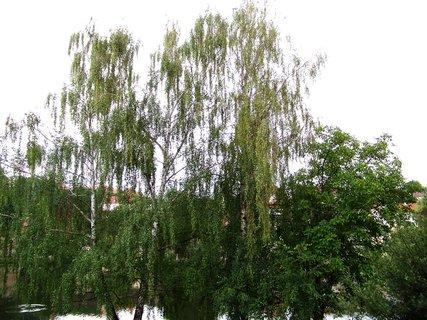 FOTKA - Břízy u rybníka - pohled ze zahrady