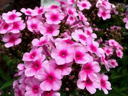 FOTKA - Růžová záplava květů -floxy