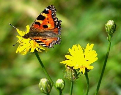 FOTKA - je to náročné vyfotit motýla