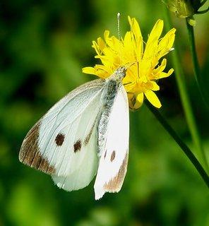 FOTKA - Motýlkování