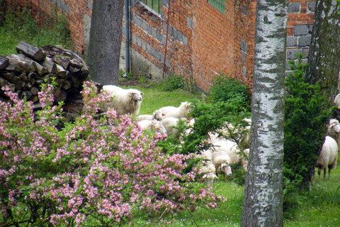 FOTKA - Stádečko oveček 1
