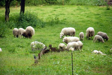 FOTKA - Stádečko oveček 2