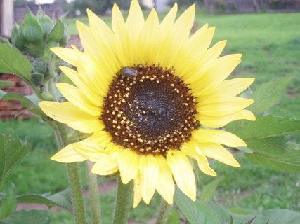 FOTKA - Slunečnice 1