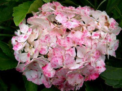 FOTKA - Bílorůžová hortenzie