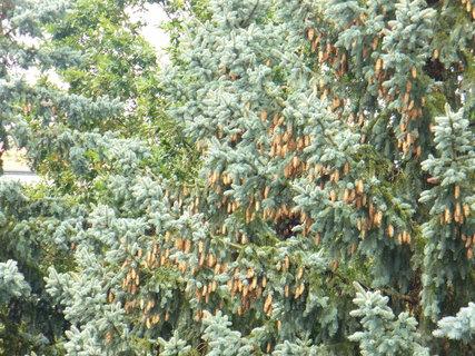 FOTKA - Tolik šišek na stromě jsem viděla poprvé