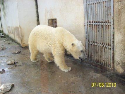 FOTKA - Ľadový medveď