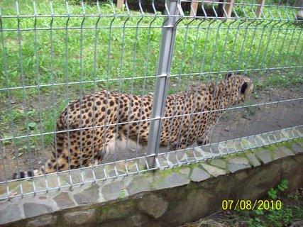 FOTKA - Gepard