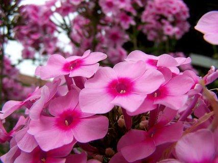 FOTKA - Růžové floxy