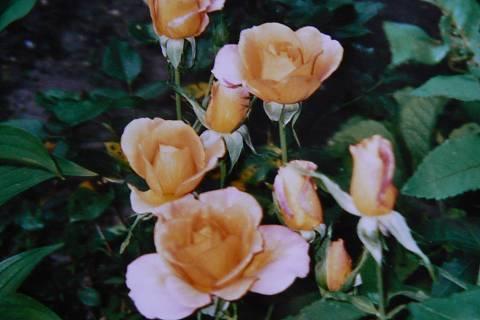 FOTKA - růže 11
