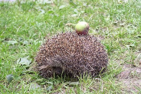 FOTKA - ježek s jablkem
