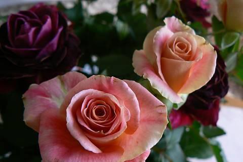 FOTKA - růže 12