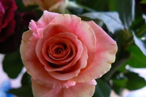 FOTKA - růže 13