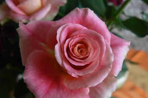 FOTKA - růže 15