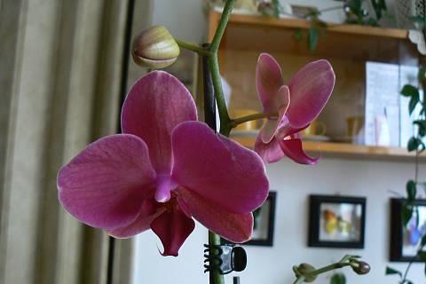 FOTKA - orchidej 8