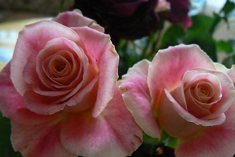 FOTKA - růže 14
