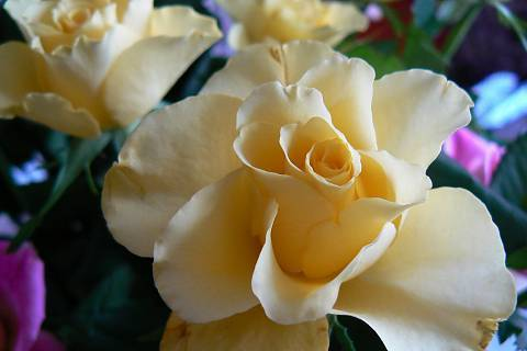 FOTKA - růže 16