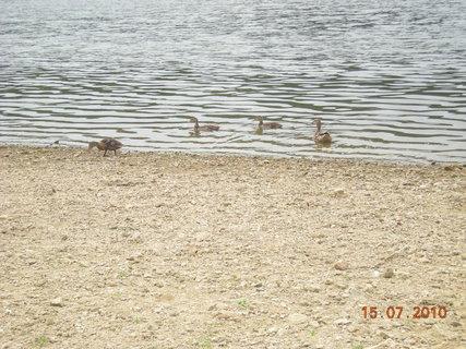 FOTKA - kachny na přehradě.
