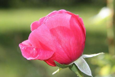 FOTKA - Růže VIII.