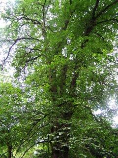 FOTKA - cestou na kole-průhonický park_starý strom