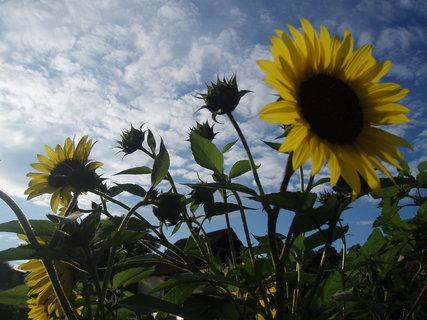 FOTKA - Slunečnice 8