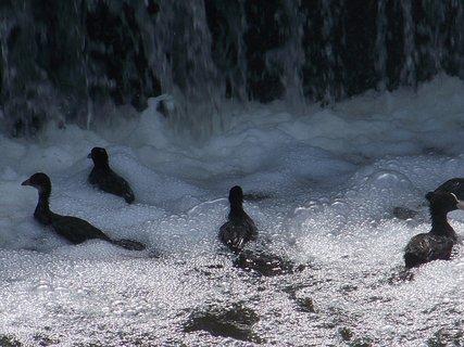 FOTKA - potápky na dně vany -Šeberák
