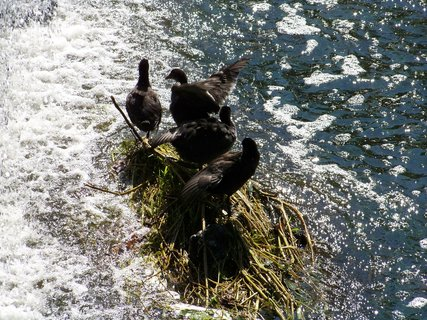 FOTKA - potápky na ostrůvku....