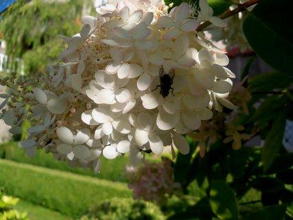 FOTKA - Kvetoucí keř s mouchou v zámecké zahradě
