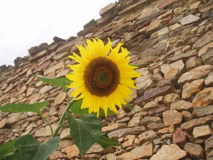 FOTKA - Slunečnice 10