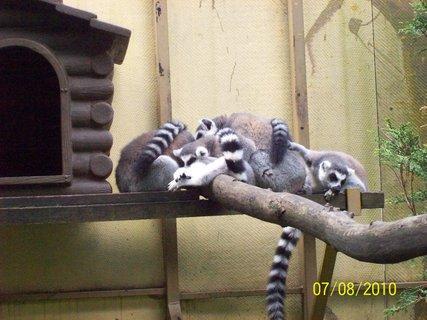 FOTKA - Lemury