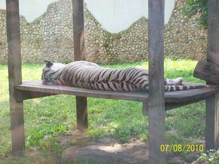 FOTKA - Biely tiger