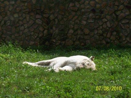 FOTKA - Biely tiger - ešte belší