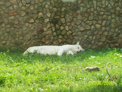 FOTKA - Ten fľak...to je biely tiger